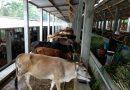Berkunjung ke Ranch Sapi Modern Milik Mas Kelana yang Siap Penuhi Kebutuhan Daging