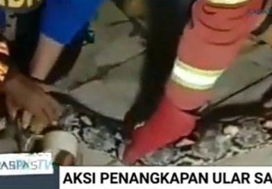 Detik-detik Penangkapan Ular Sanca Sepanjang 5 Meter